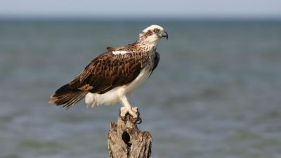 Eastern Osprey Pandion haliaeteus (Regularity: Recorded in 8% of years: 1979-2014)