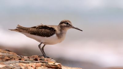 Common Sandpiper Actitis hypoleucos (Regularity: Recorded in 39% of years: 1979-2014)