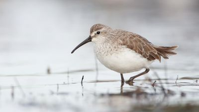 Curlew Sandpiper Calidris ferruginea (Regularity: Recorded in 8% of years: 1979-2014) Critically Endangered (Environment Protection and Biodiversity Conservation Act 1999 (Cth.)