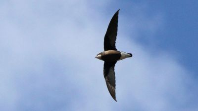 White-throated Needletail Hirundapus caudacutus (Regularity: 97% of years: 1979-2014)