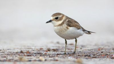 Double-banded Plover Charadrius bicinctus (Regularity: Recorded 17% of years: 1979-2014)