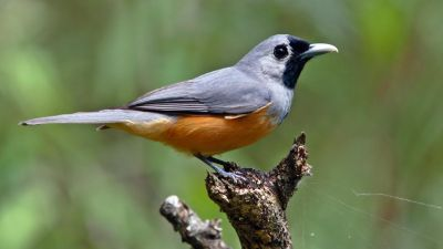 Black-faced Monarch Monarcha melanopsis Regularity: (Recorded 44% of years: 1979-2014)
