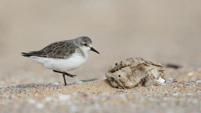 Red-necked Stint Calidris ruficollis (Regularity: Recorded in 17% of years: 1979-2014)