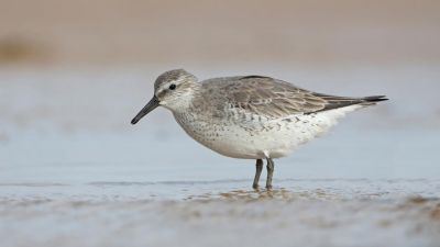 Red Knot Calidris canutus (Regularity: Recorded in 3% of years: 1979-2014) Endangered (Environment Protection and Biodiversity Conservation Act 1999 (Cth.)