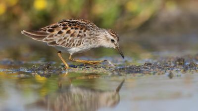 Long-toed Stint Calidris subminuta (Regularity: Recorded in 3% of years: 1979-2014)