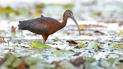 Glossy Ibis Plegadis falcinellus (Regularity: Recorded in 64% of years: 1979-2014)
