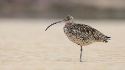 Eastern Curlew Numenius madagascariensis (Regularity: Recorded 6% of years: 1979-2014) Critically Endangered (Environment Protection and Biodiversity Conservation Act 1999 (Cth.)