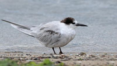 Common Tern Sterna hirundo (Regularity: Recorded in 3% of years: 1979-2014)