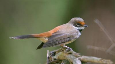 Rufous Fantail Rhipidura rufifrons (Regularity: Recorded in 97% of years: 1979-2014)