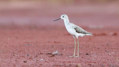 Marsh Sandpiper Tringa stagnatilis (Regularity: Recorded in 19% of years: 1979-2014)