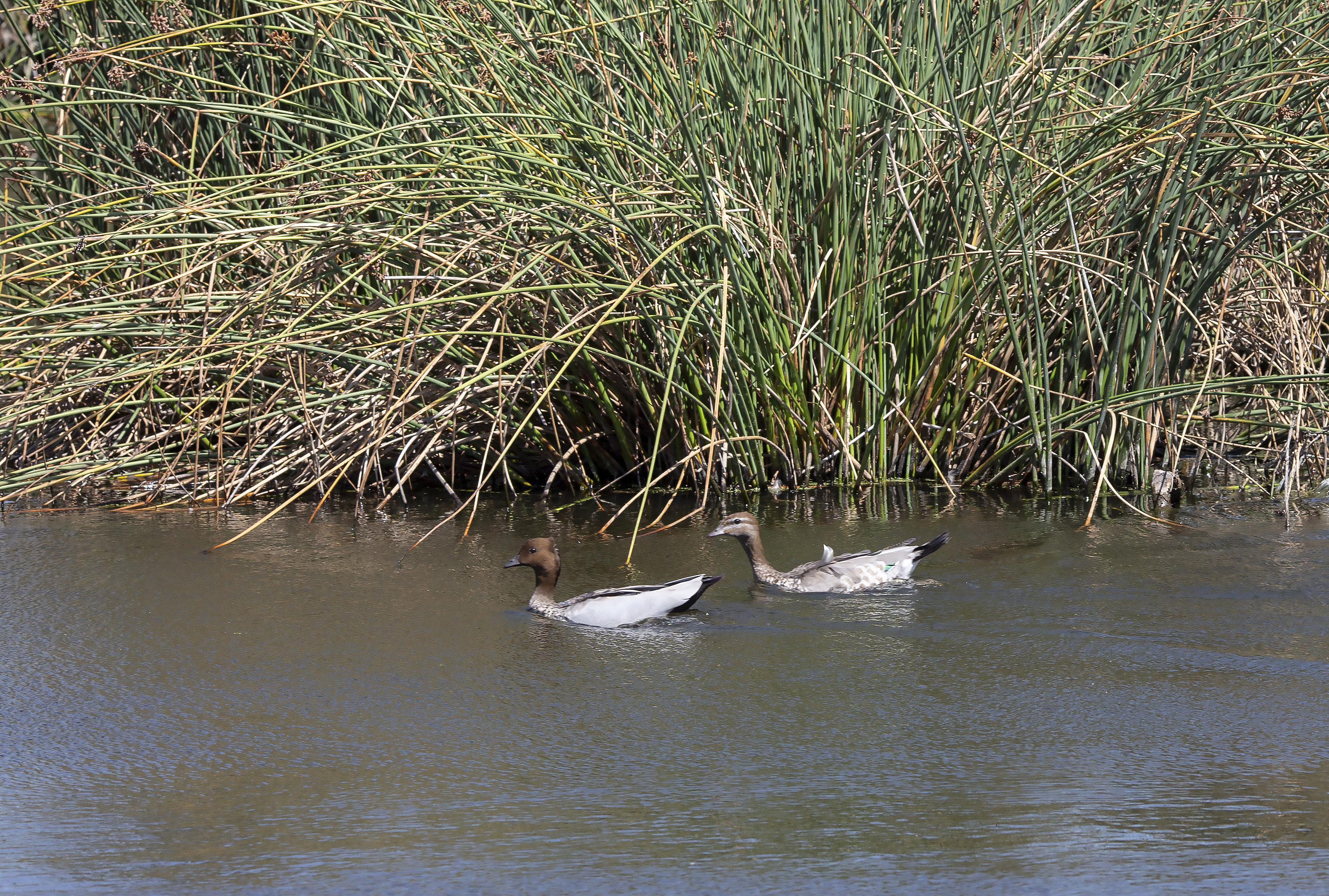 elsternwick park wetlands with birds