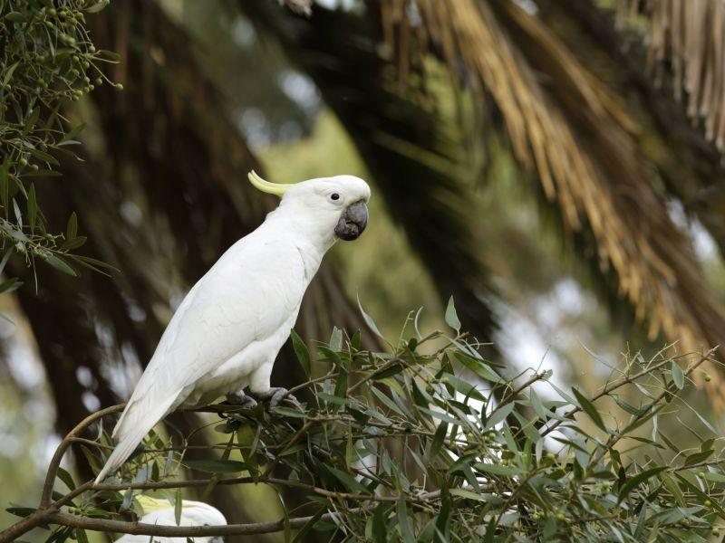 Hurlstone Park Cockatoo