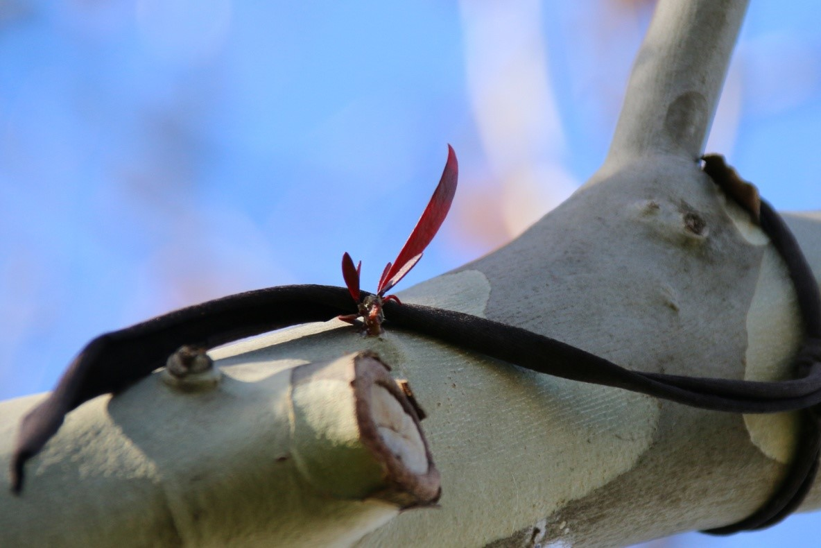 mistletoe plant on plane tree branch