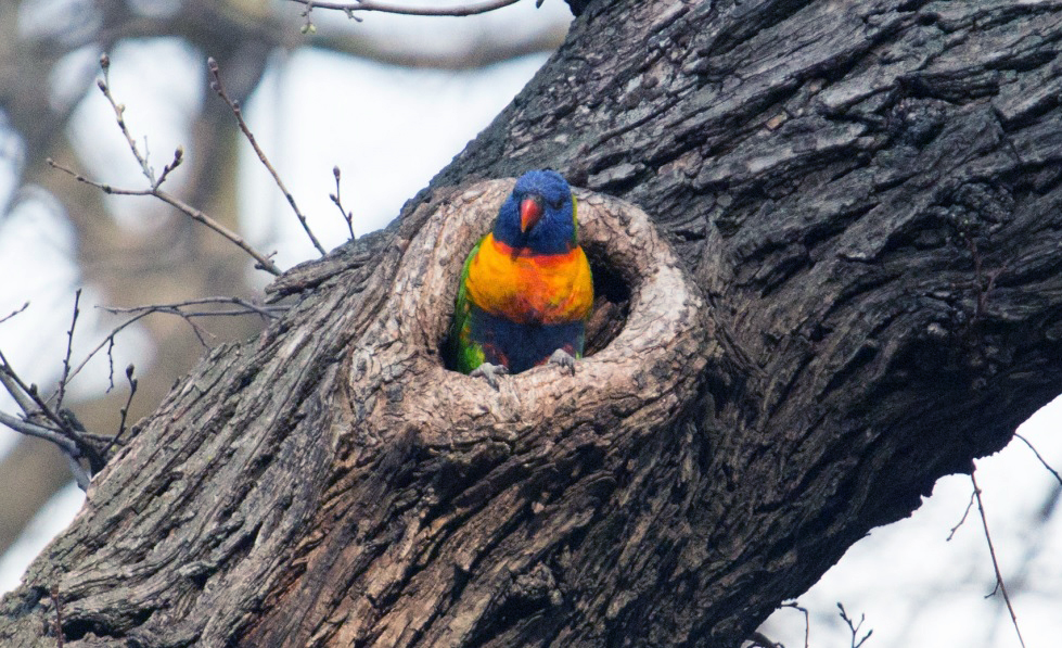 A rainbow lorikeet peeks out from a hole in an Elm tree.