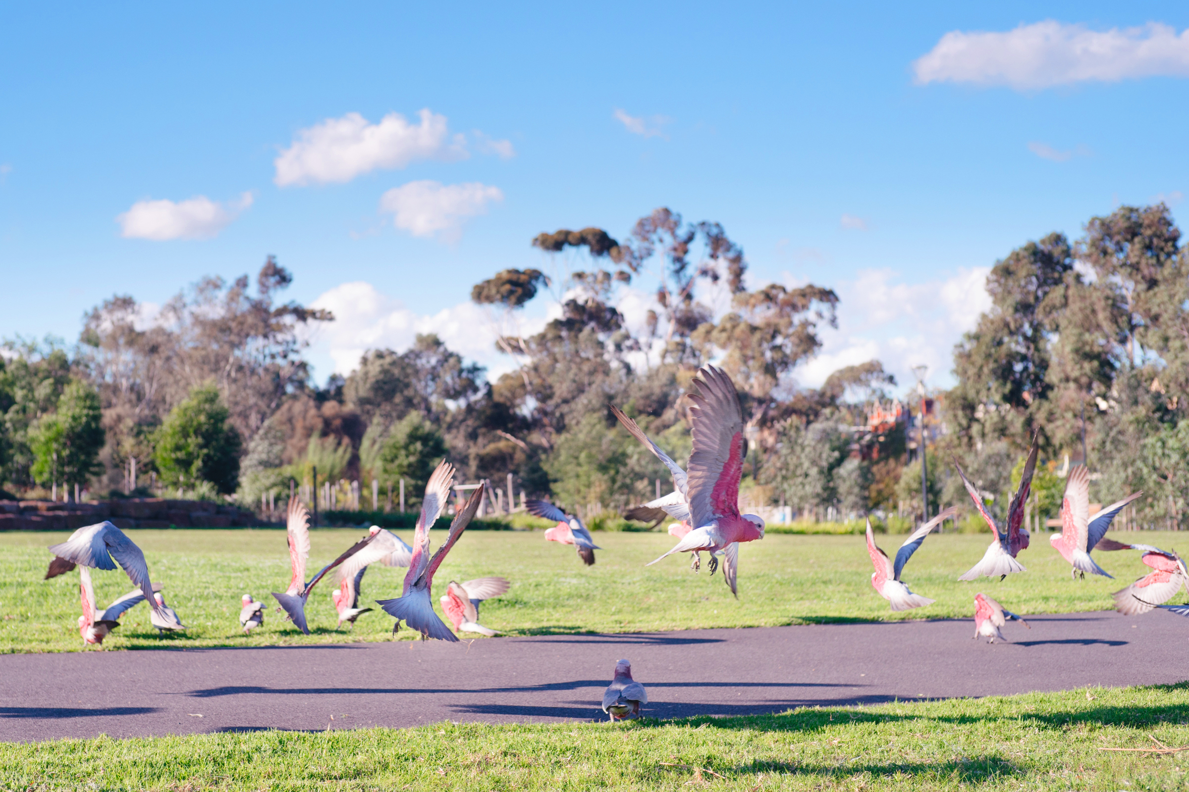 Galahs in Royal Park - Image: Bron Hazelwood