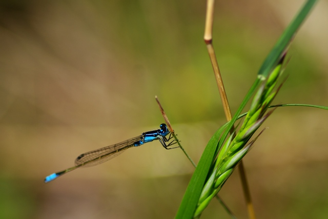 Damselfly by Luis Mata