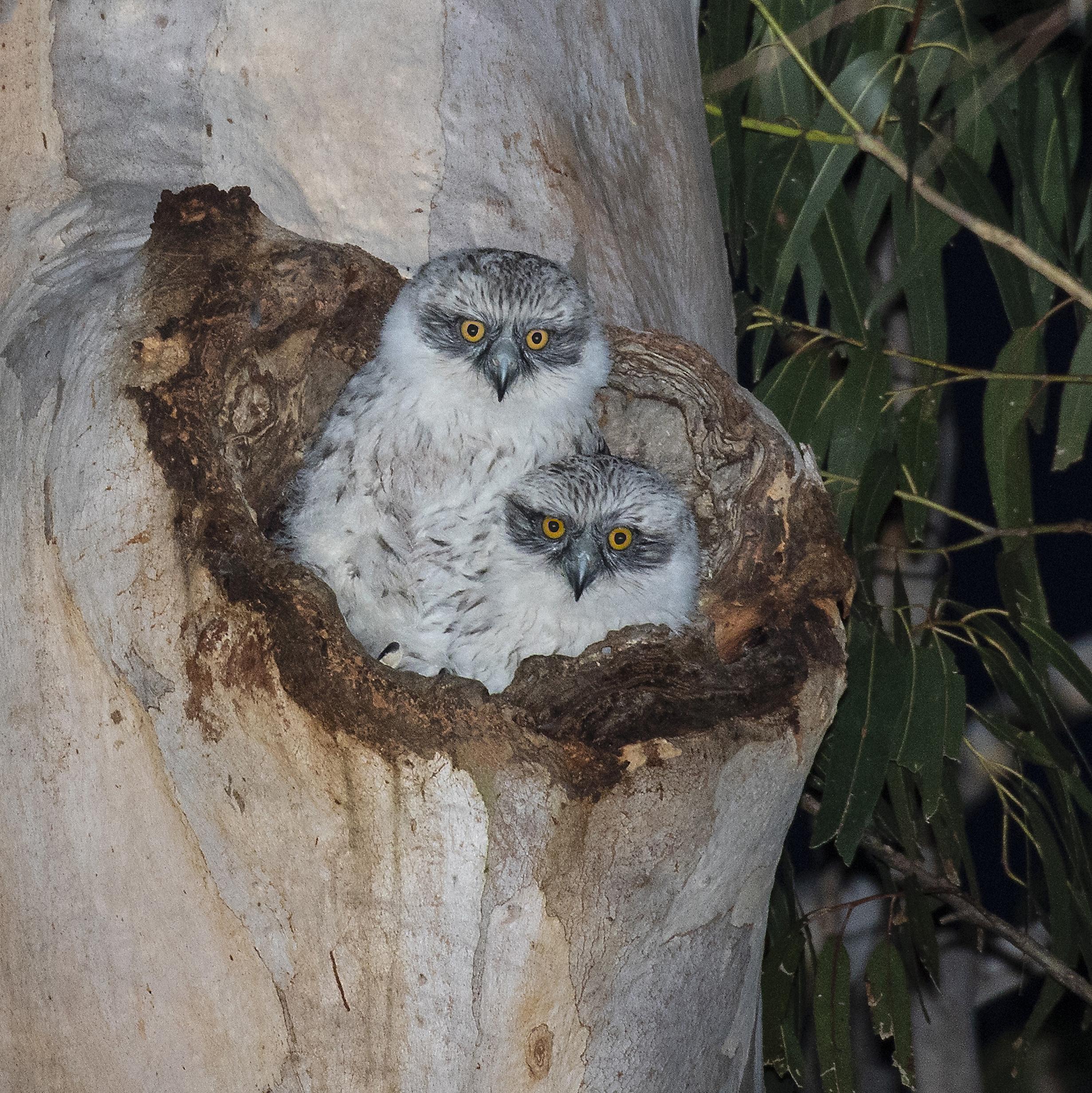 Powerful Owl chicks