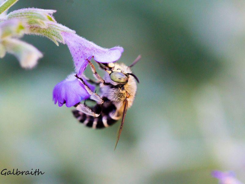 Blue Banded Bee In Purple Flower