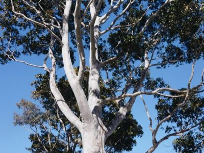 Spotted Gum tree