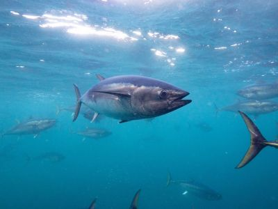Southern Bluefin Tuna - courtesy of Great Southern Reef
