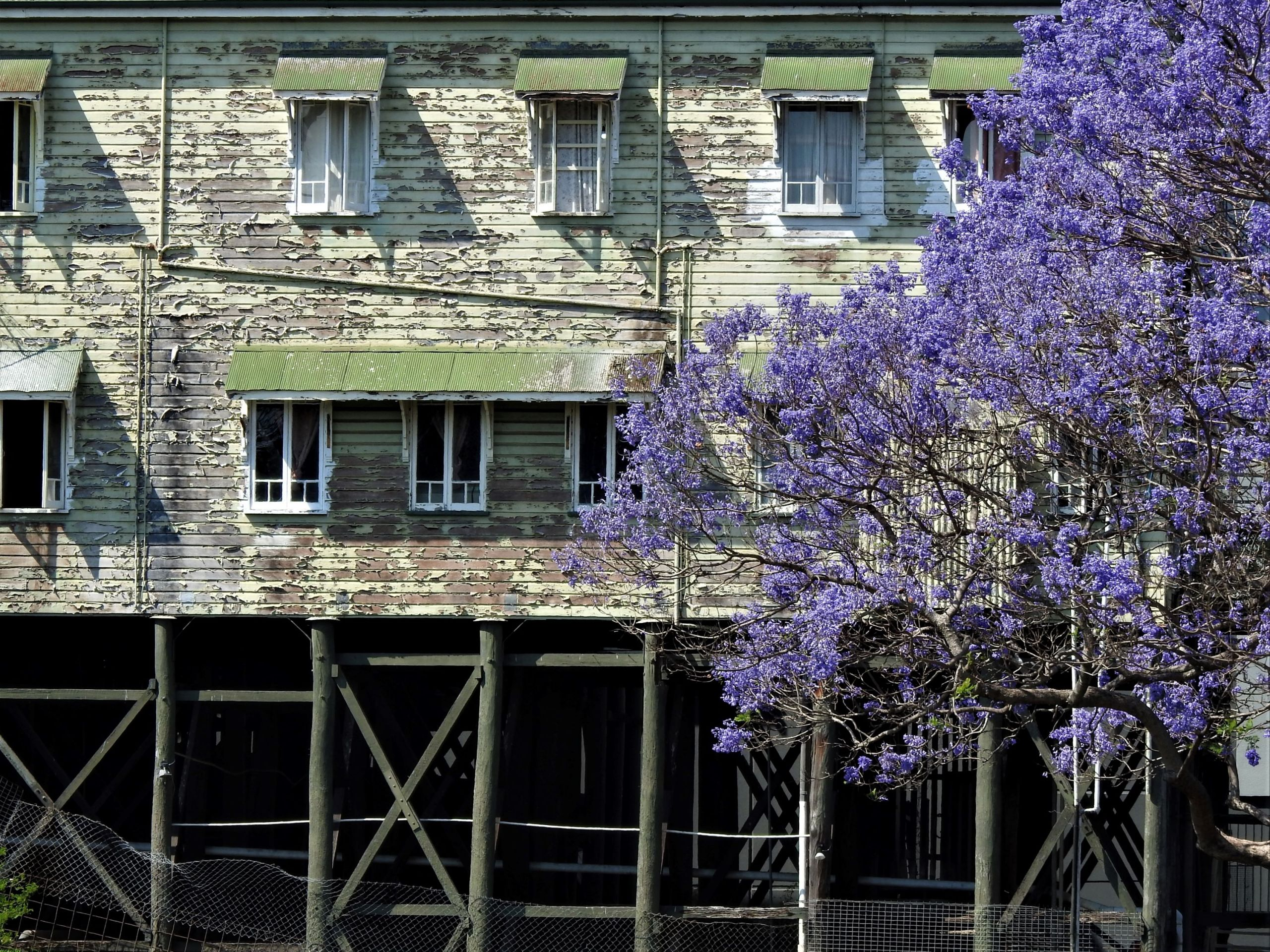 House with peeling paint as a backdrop to a blooming jacaranda tree
