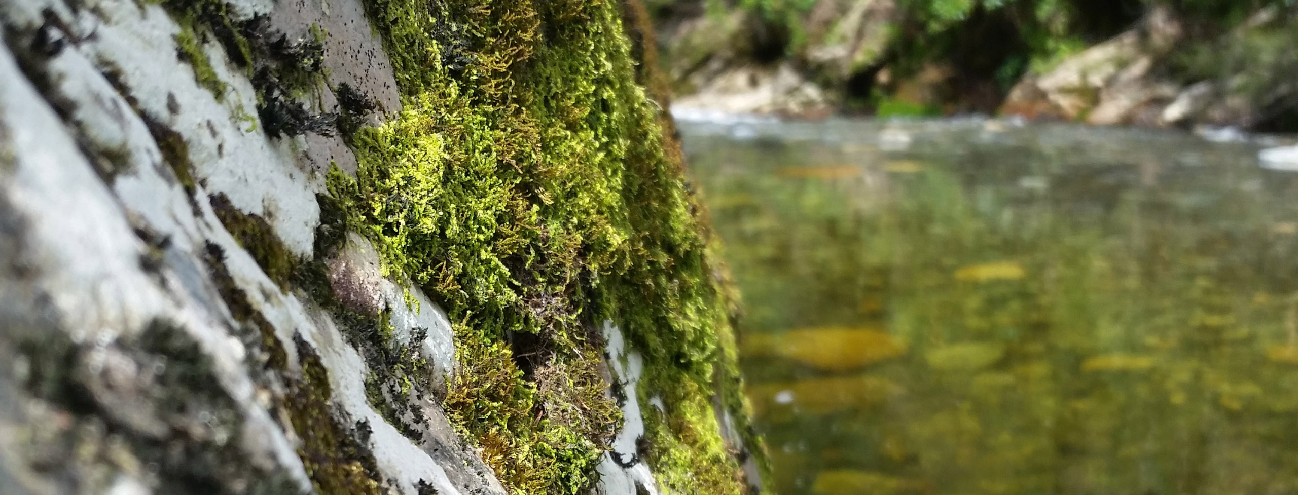 Various species of moss growing on a rock by a river
