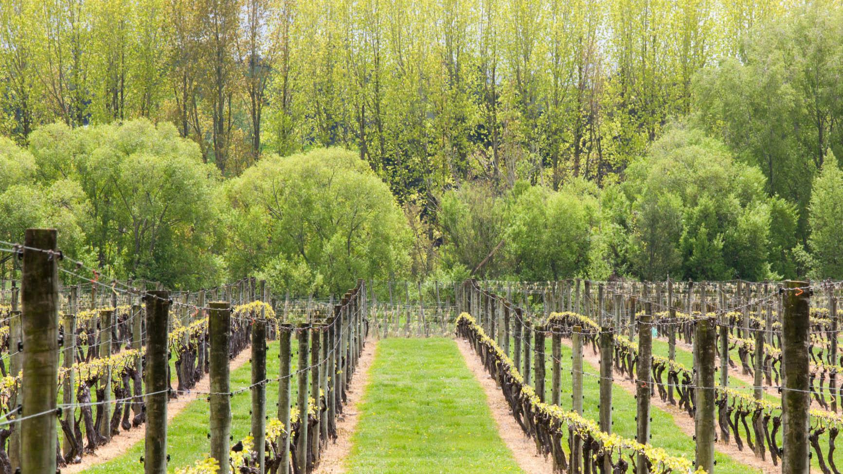 Upper Moutere vineyard, lane view