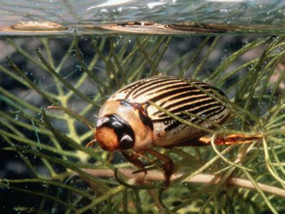 water bug image
