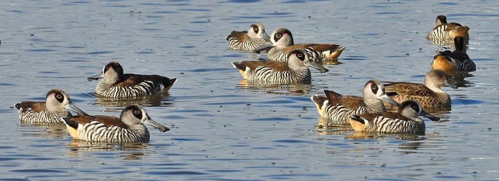 picture of pink-eared ducks