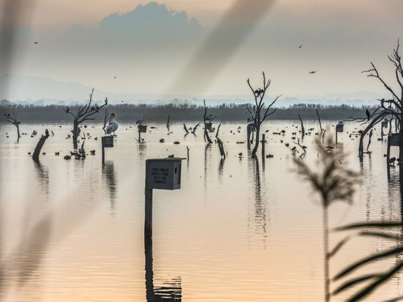 Birds sitting on dead tree stumps in the middle of a lagoon at sunset