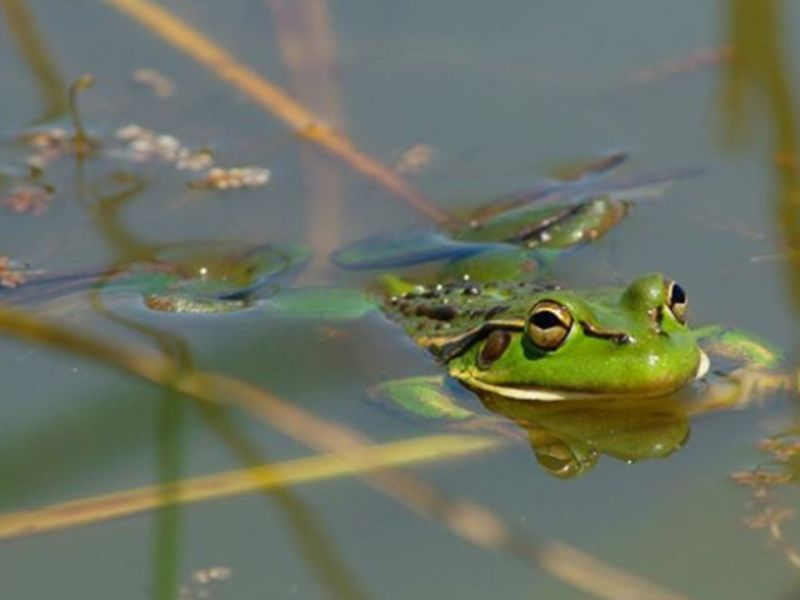 Growling grass frog in water