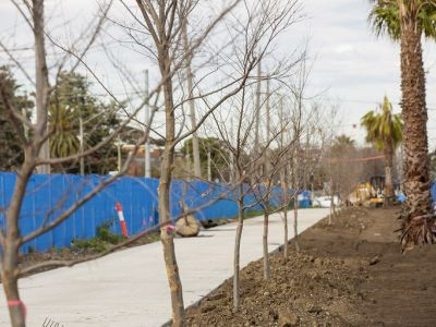 Image of new palm trees which were replanted within centre-median along St Georges Rd