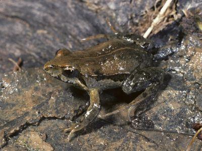 Eastern Common Froglet