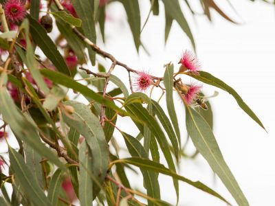 Flowering gums