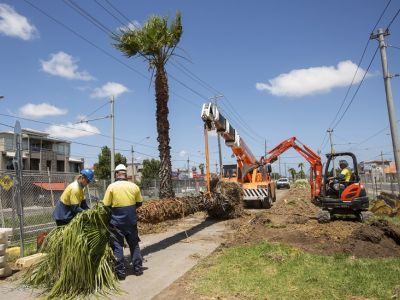 Image of palm trees being removed and replanted along centre-median of St Georges Rd