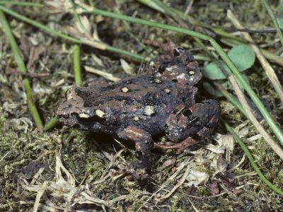 Victorian Smooth Froglet