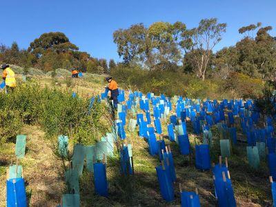 Picture of crews planting seedlings