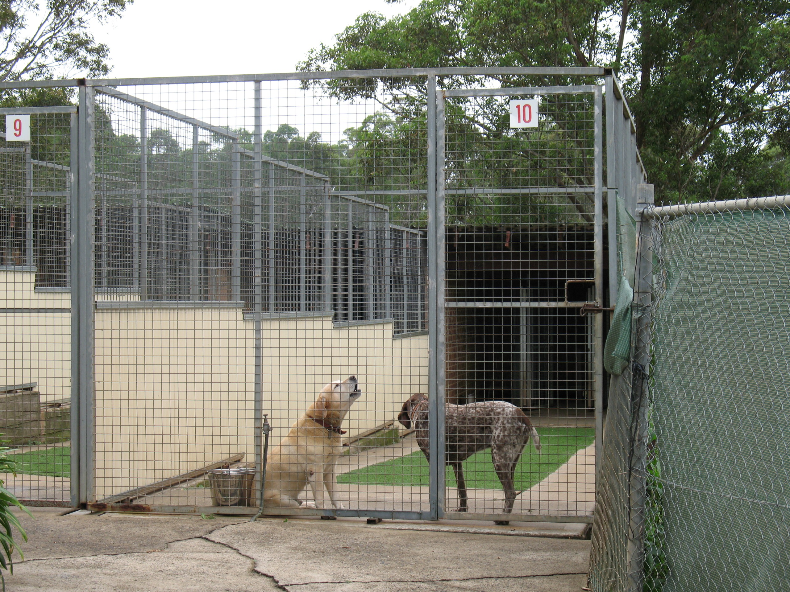 Dogs in a compound barking and howling
