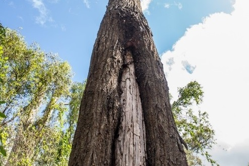 An Aboriginal scarred Ironbark tree estimated to be 160 years old.