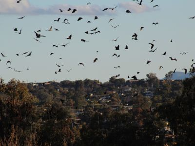 Flying foxes outside Ray Walsh House