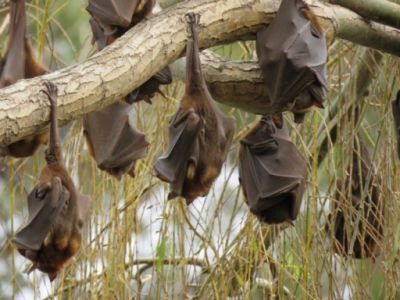 flying foxes hanging