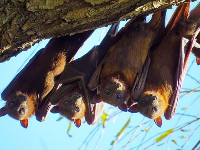 4 flying foxes