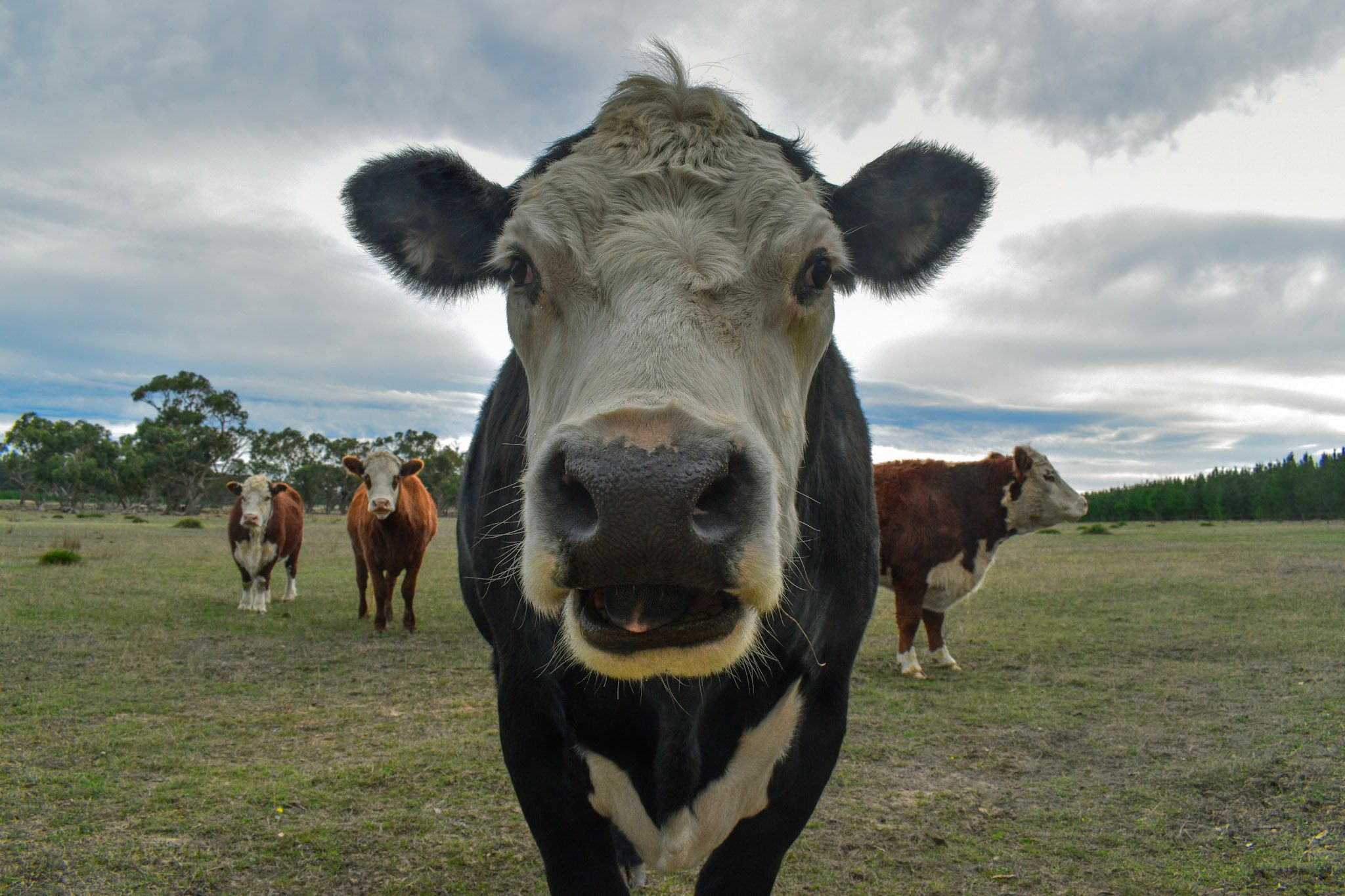 A photo of cows