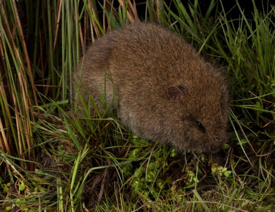 The endangered Tooarrana (Broad-toother Rat) , Mastacomys fuscus mordicus. David Paul  Museums Victoria