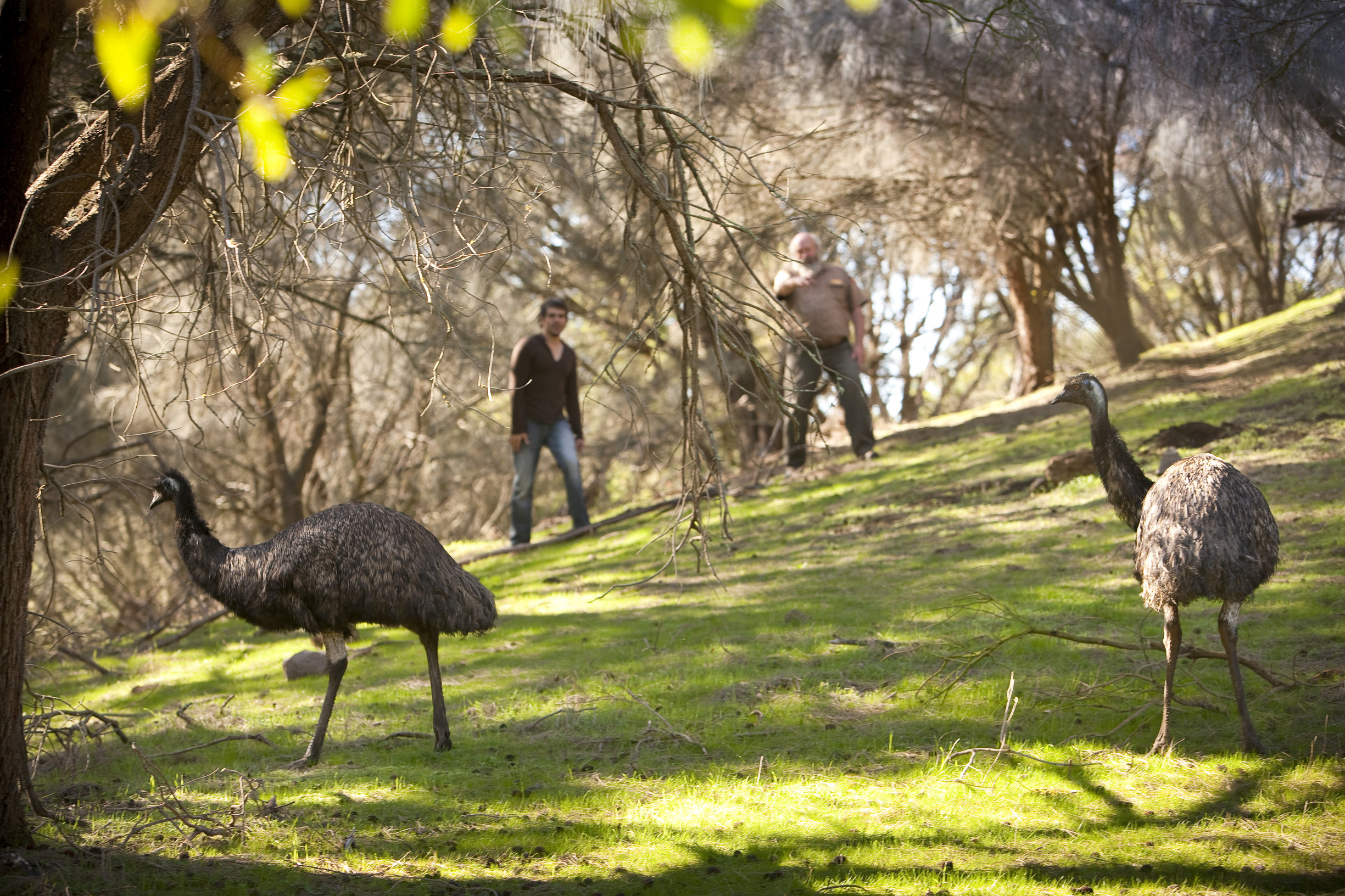 In this image is possible to see two men looking at two emus walking through Tower Hill