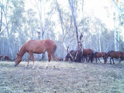 This is a photo of feral horses congregating on high ground, at Sandridge Track, Rat Castle.