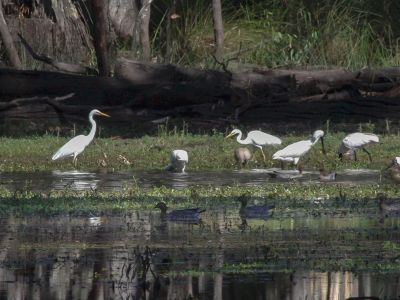 This is a photo of great egrets, royal spoonbills, and wood ducks foraging in Little Rushy Swamp.