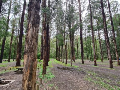 Picture of the existing campsites in amongst the planted rows of eucalypt trees. Wheel ruts with water in them can also be seen.