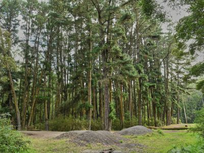 Picture of large old pine trees that are located on eastern side of the campground