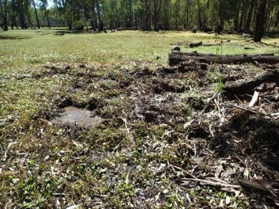 This is a photo of the impact of feral pig rooting activity at Little Rushy Swamp.